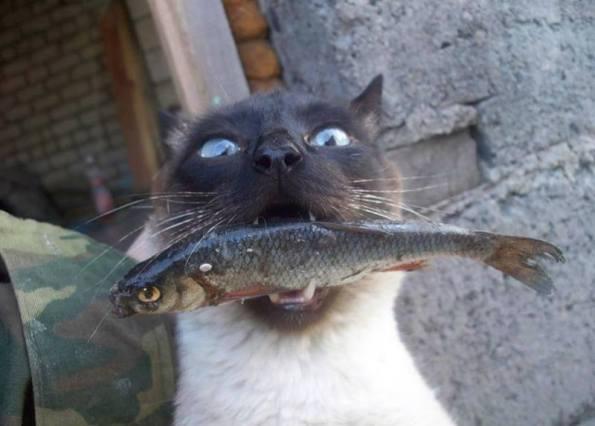 siamese-fish